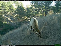 Trailcam image from Wind Cave National Park in December 2015, elk.