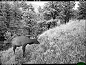 Elk on trailcam just before dawn, Wind Cave National Park, July 27, 2016.