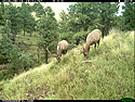 Elk on trailcam, Wind Cave National Park, Aug. 15, 2016.