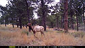 Elk on Moultrie trailcam, Wind Cave National Park, May 13, 2016.  Compare to following image on Primos trailcam.