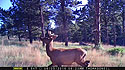 Elk on trailcam, Wind Cave National Park, June 5, 2016.