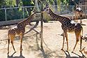 Giraffe, San Diego Zoo.