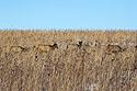 Elk hiding in the tallgrass prairie, Neal Smith NWR, Iowa, January 2016.