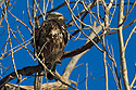 Juvenile Bald eagle, Squaw Creek National Wildlife Refuge, Missouri, January 2016.