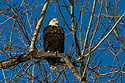 Bald eagle, Squaw Creek National Wildlife Refuge, Missouri, January 2016.