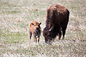 Bison with baby, Custer State Park, May 2016.