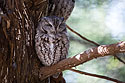 Screech Owl, Lee G. Simmons Conservation Park and Wildlife Safari.