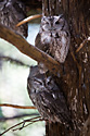Screech Owls, Lee G. Simmons Conservation Park and Wildlife Safari.