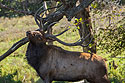 Elk, Lee G. Simmons Conservation Park and Wildlife Safari.