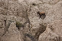 Bighorn sheep on a sheer cliff in the Badlands, October 2016.