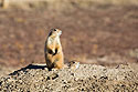 Prairie dog looking for coyotes, Wind Cave National Park, 2016.