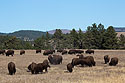 Bison herd, Custer State Park, 2016.