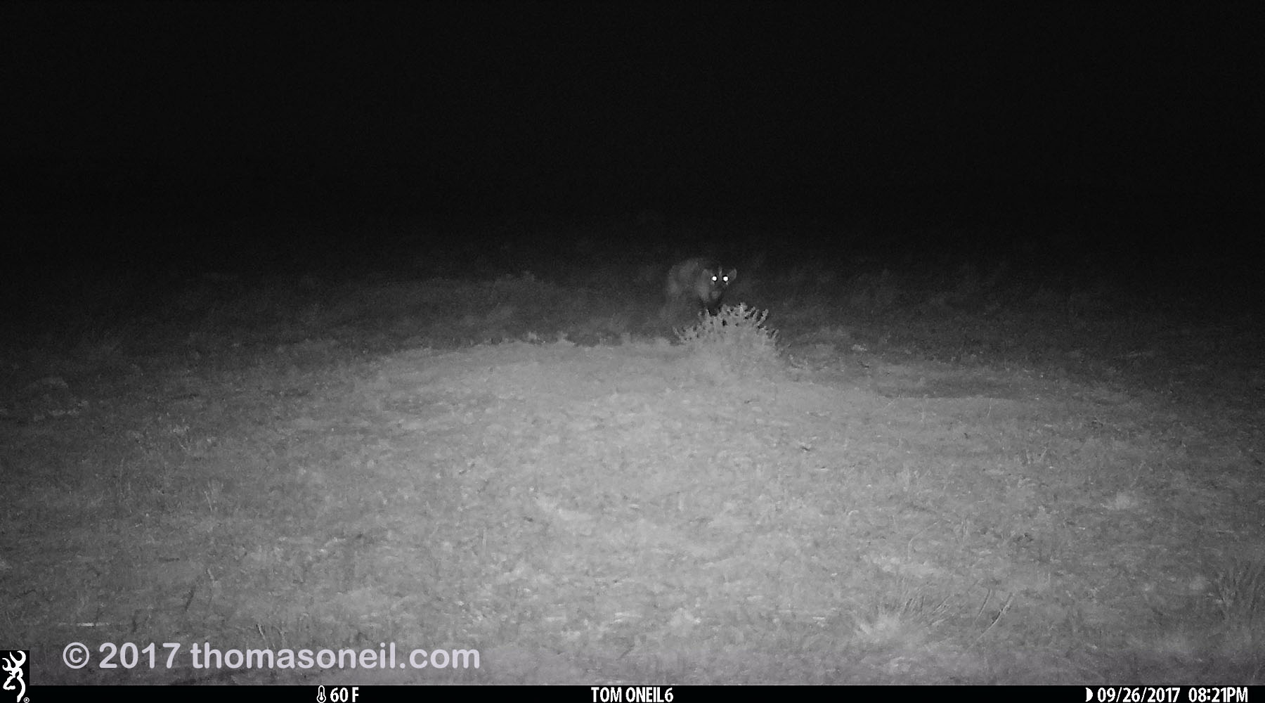 Badger, Conata Basin, South Dakota, September 2017, see video on YouTube.