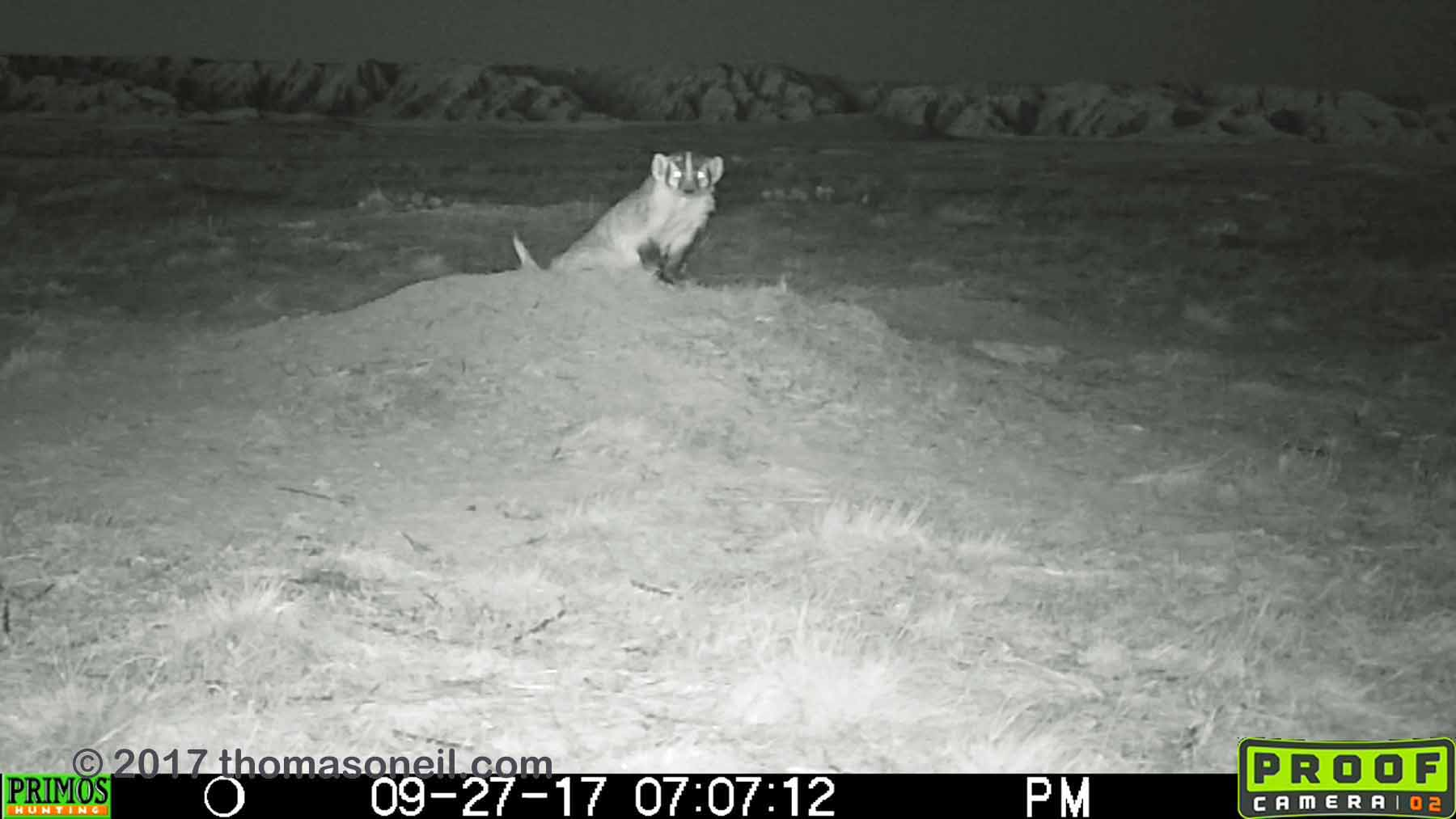Badger, Conata Basin, South Dakota, September 2017, screen grab from video.