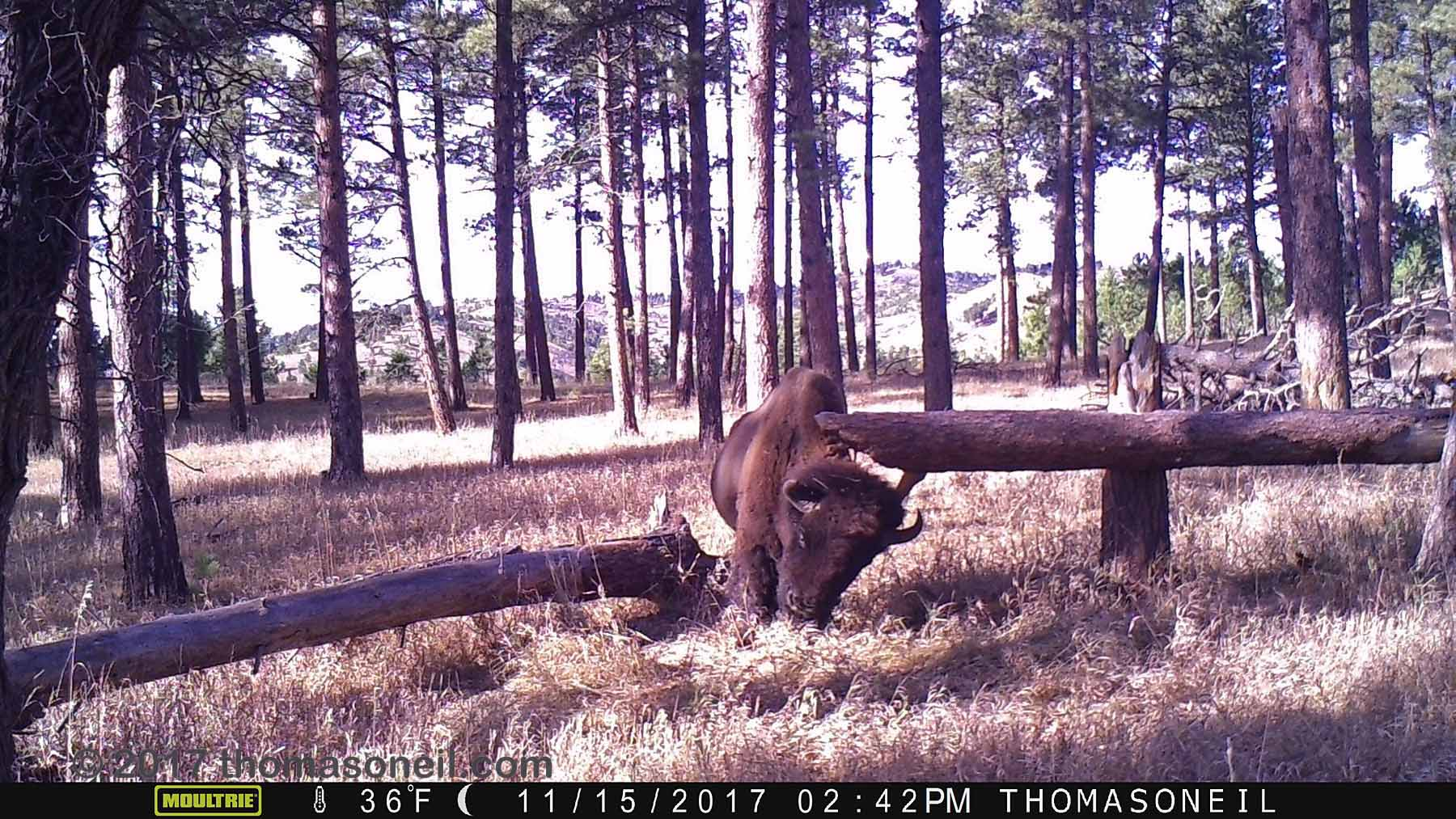 Custer State Park bison on trailcam, November 2017.  This is the last usable image I got before a wildfire swept through this area three weeks later and destroyed the camera.