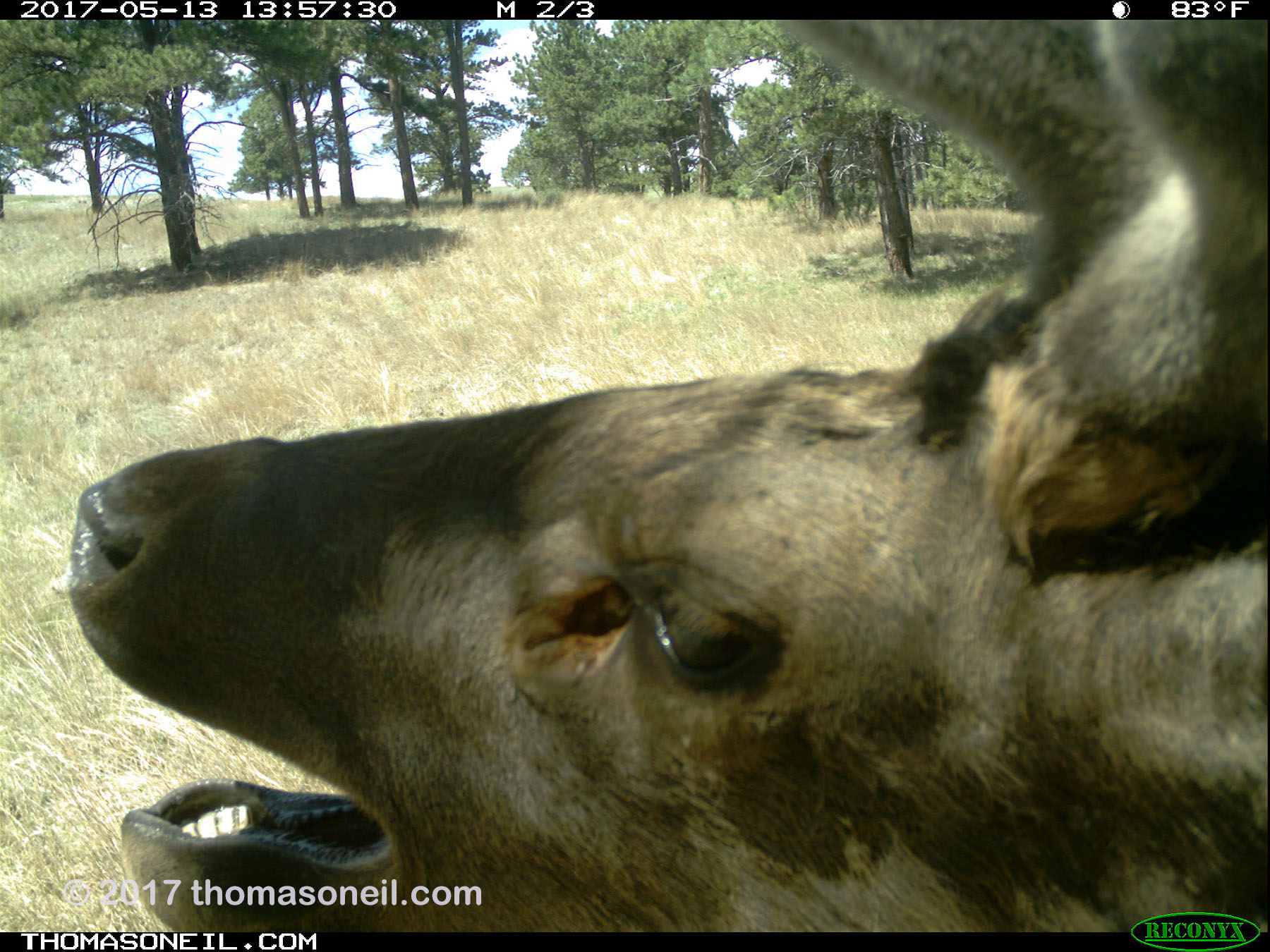 Elk caught scratching himself on my camera or the tree or something, May 13, 2017.  Click for next photo.
