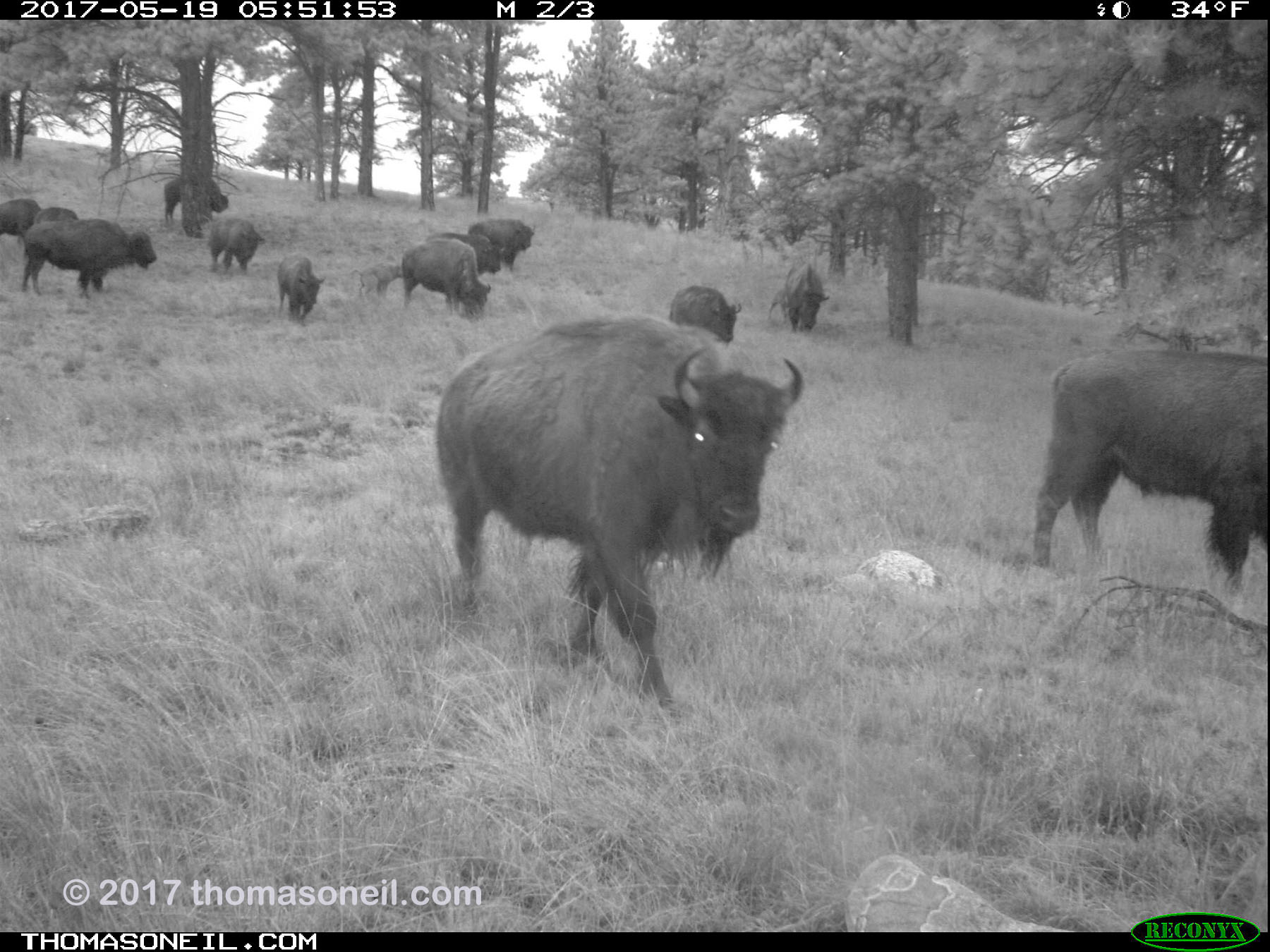 Bison passing in the predawn hours, May 19, 2017.