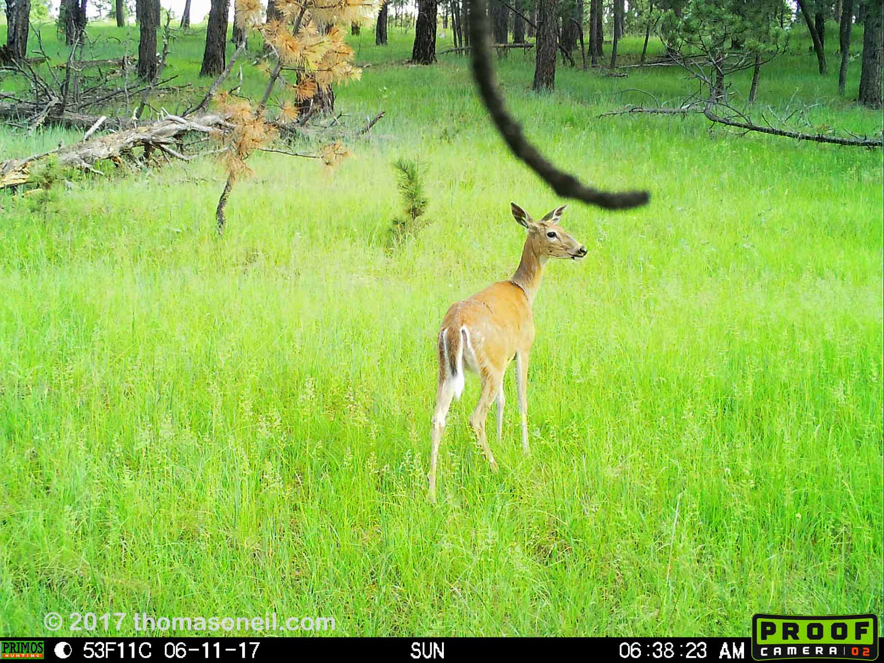 Deer, June 11, 2017.  This is probably the best image I can get from the Primos trailcam, but I'm going to try something else.