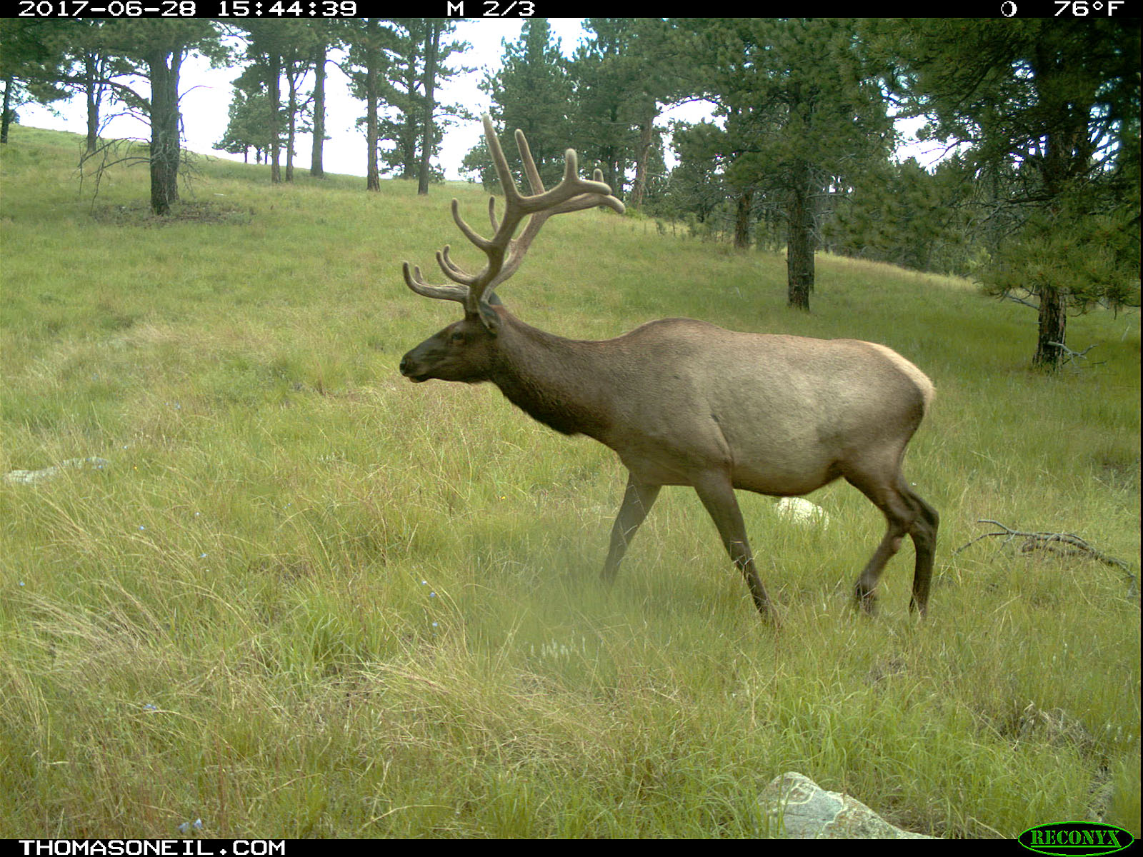 Elk, June 28, 2017.  Click for next photo.