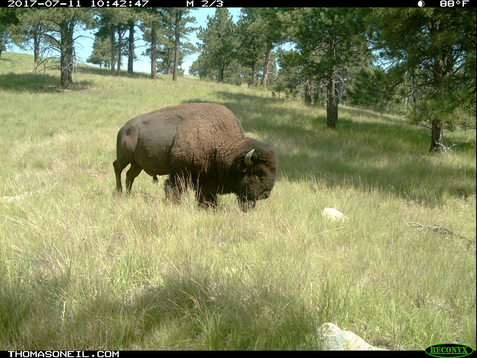 Bison staking out a grazing spot, July 11, 2017.