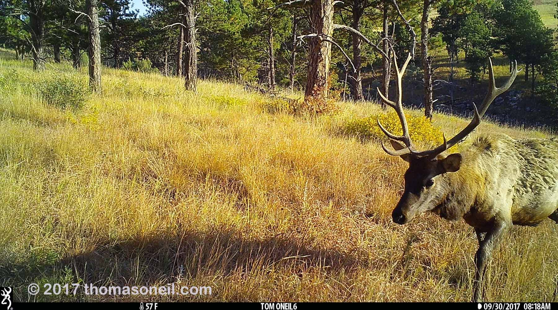 One of the few images I got from the Browning trailcam before it was destroyed, Wind Cave National Park.