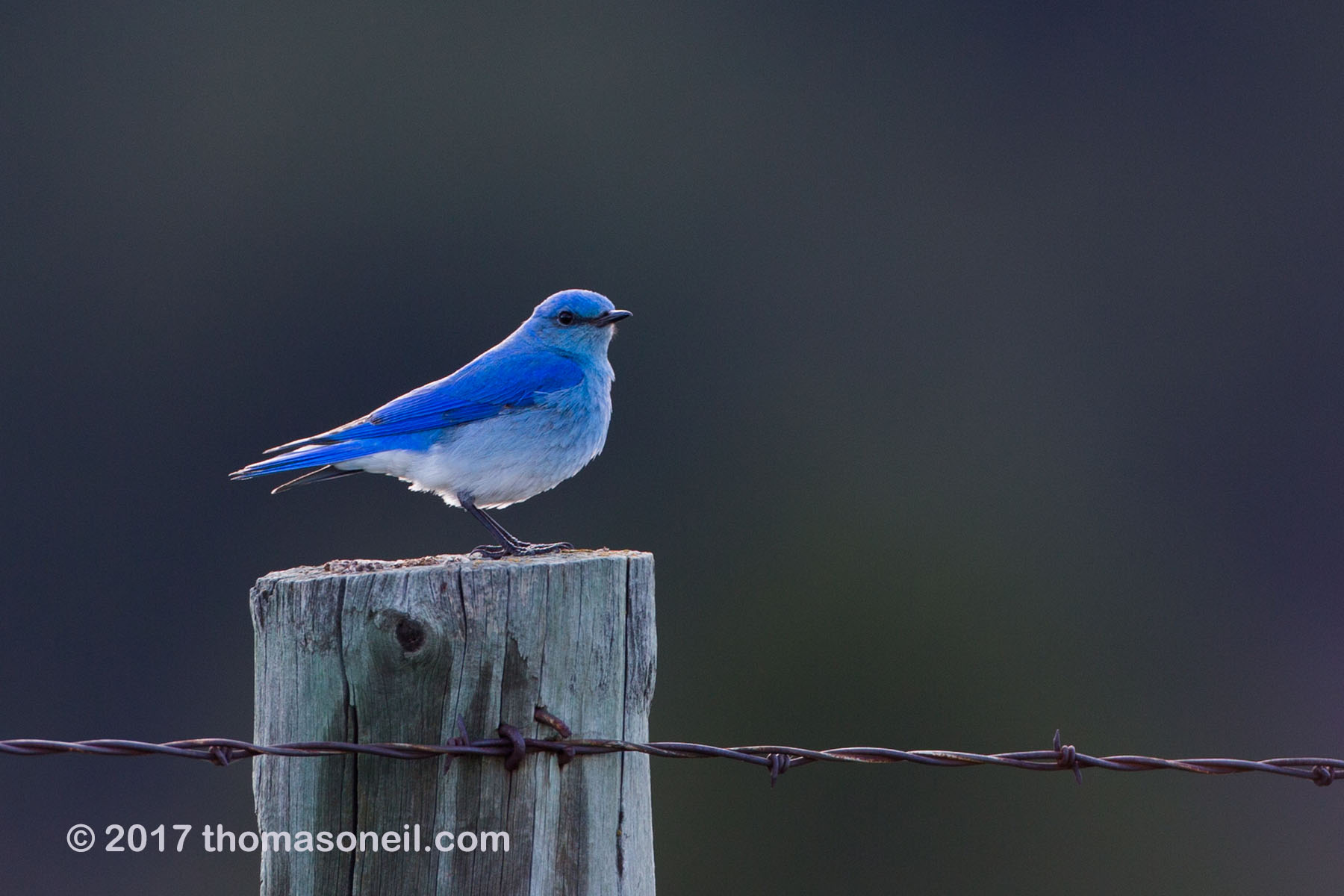 Mountain Bluebird in Custer State Park, April 2017.  Click for next photo.