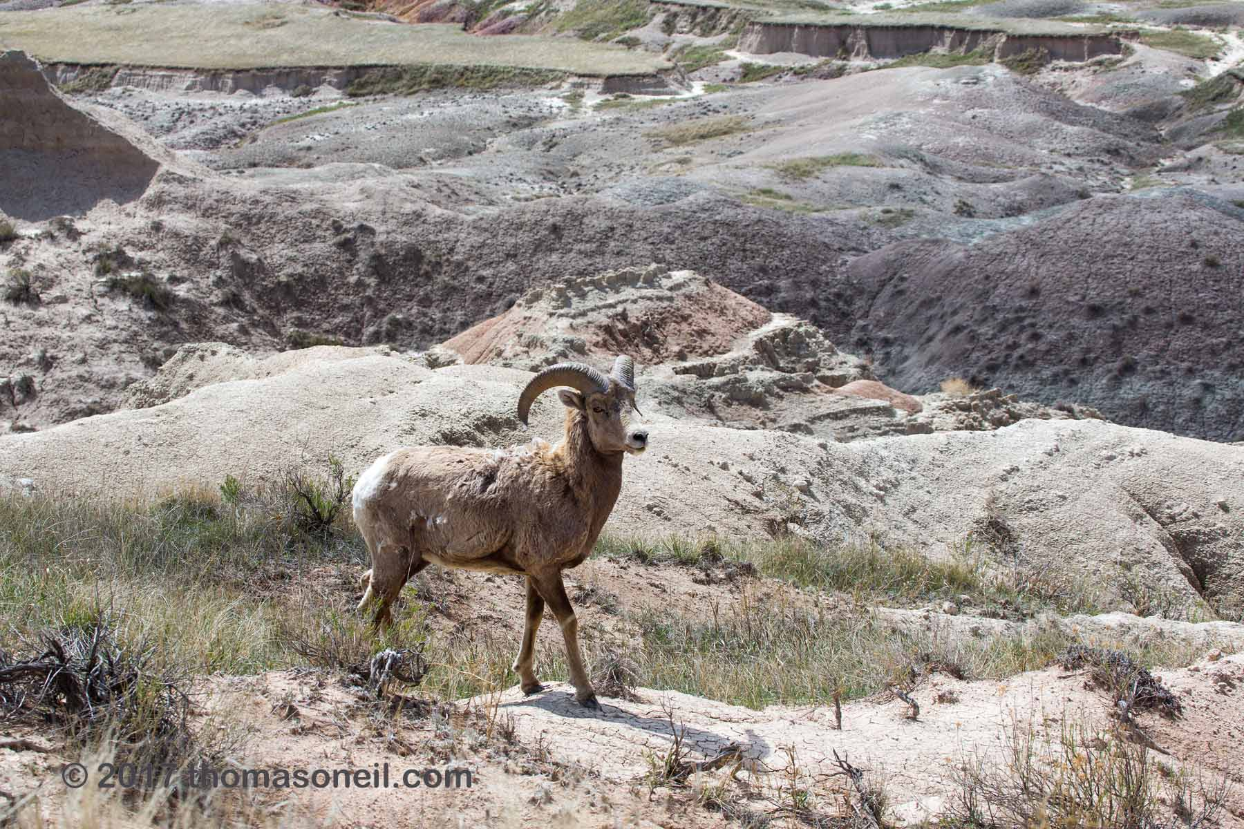 Bighorn in the Badlands, April 2017.  Click for next photo.