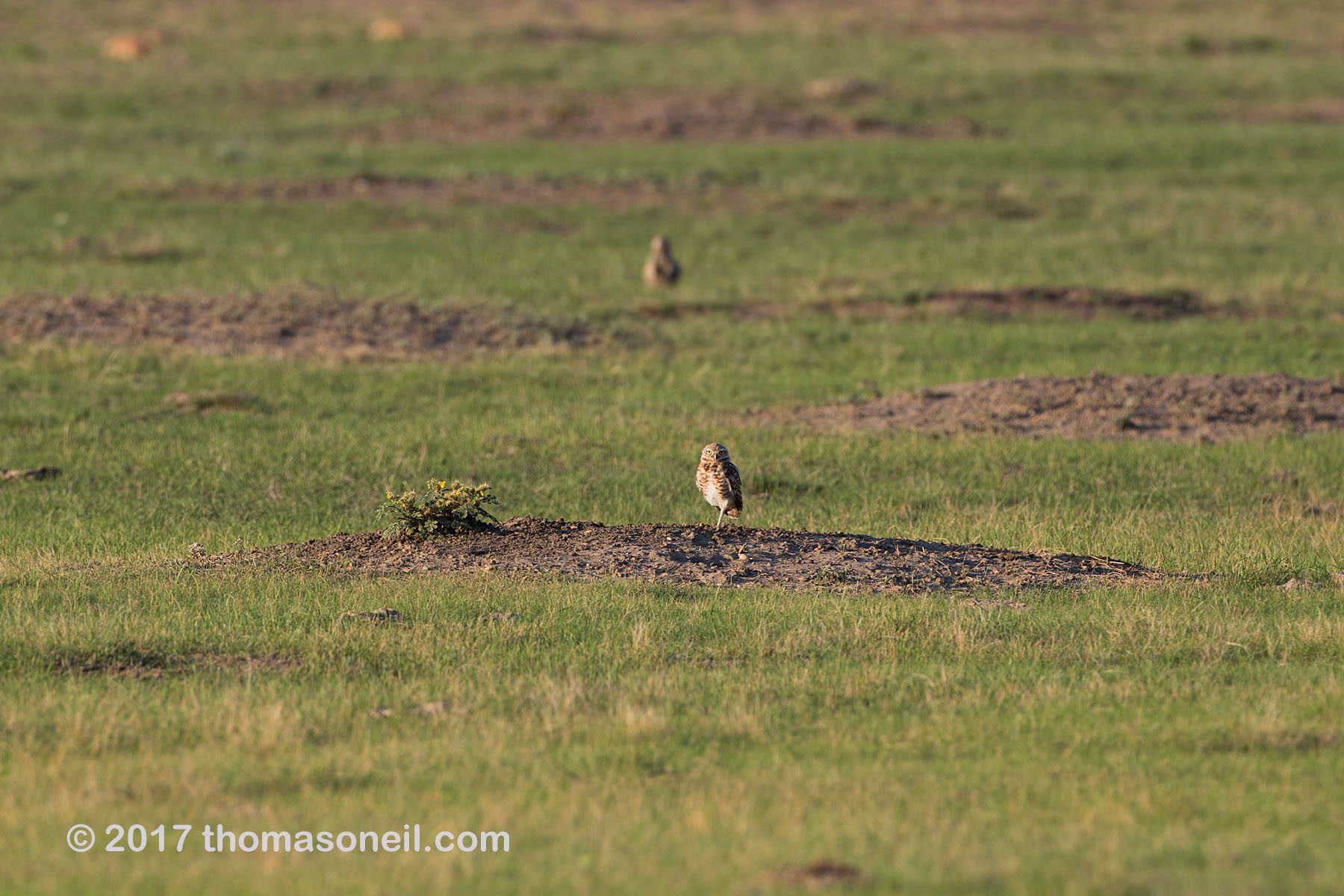 Burrowing owl east of Pierre, SD, August 2017.  Click for next photo.