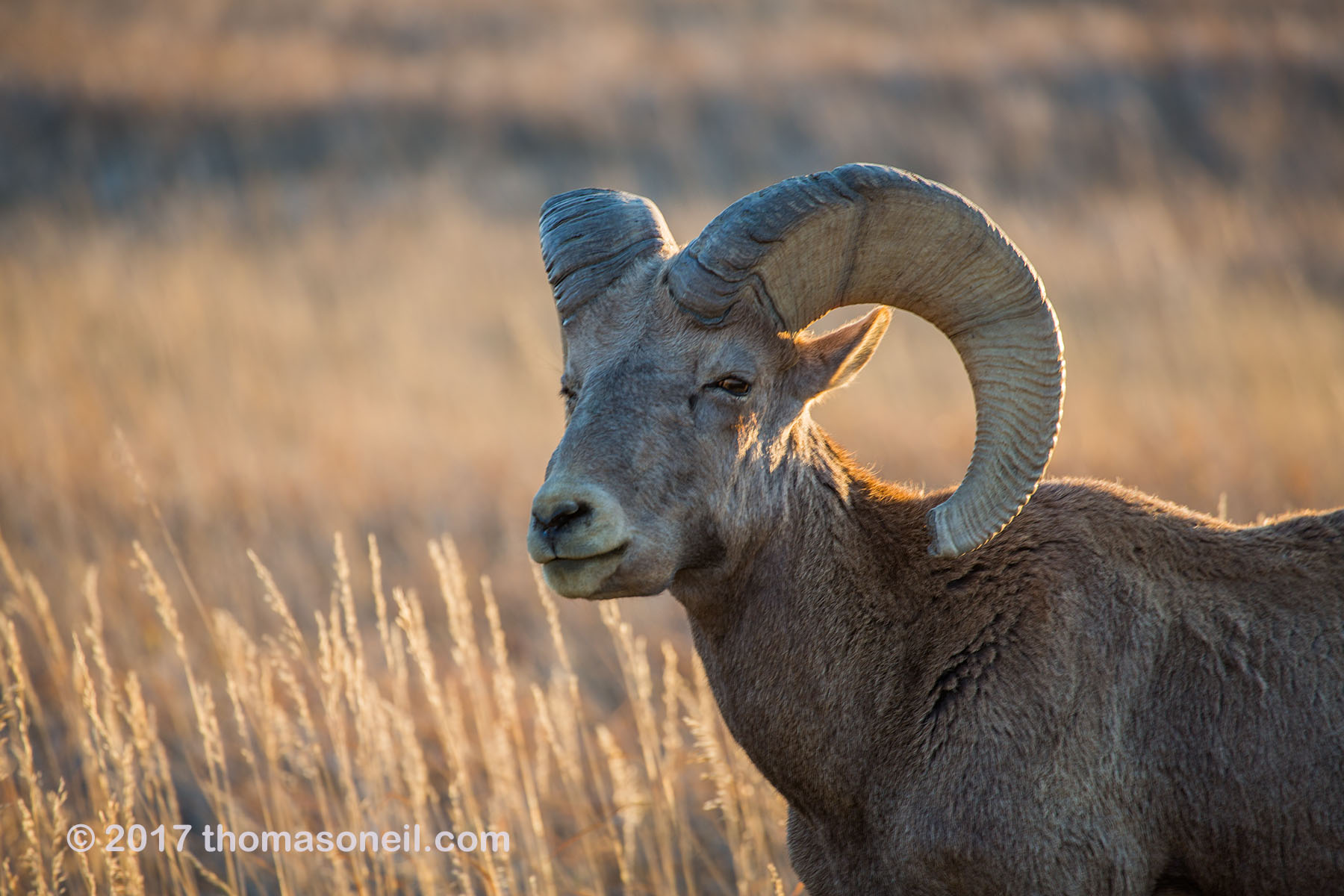 Bighorn in the Badlands, South Dakota, September 2017.  Click for next photo.