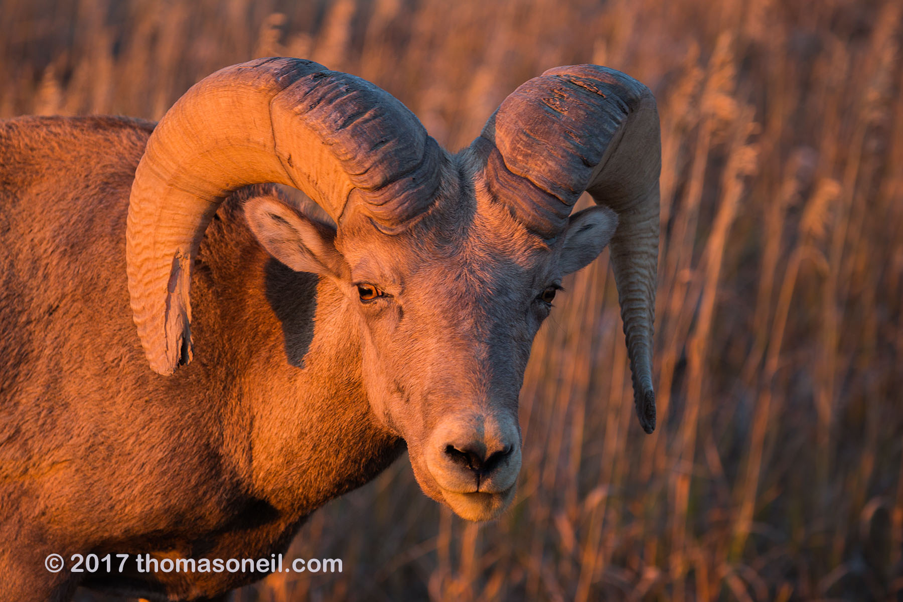 Bighorn in the Badlands, South Dakota, September 2017.  Note the difference in light between this image taken just before sunset and the next image in the slideshow taken three hours after sunrise the next day.  Click for next photo.