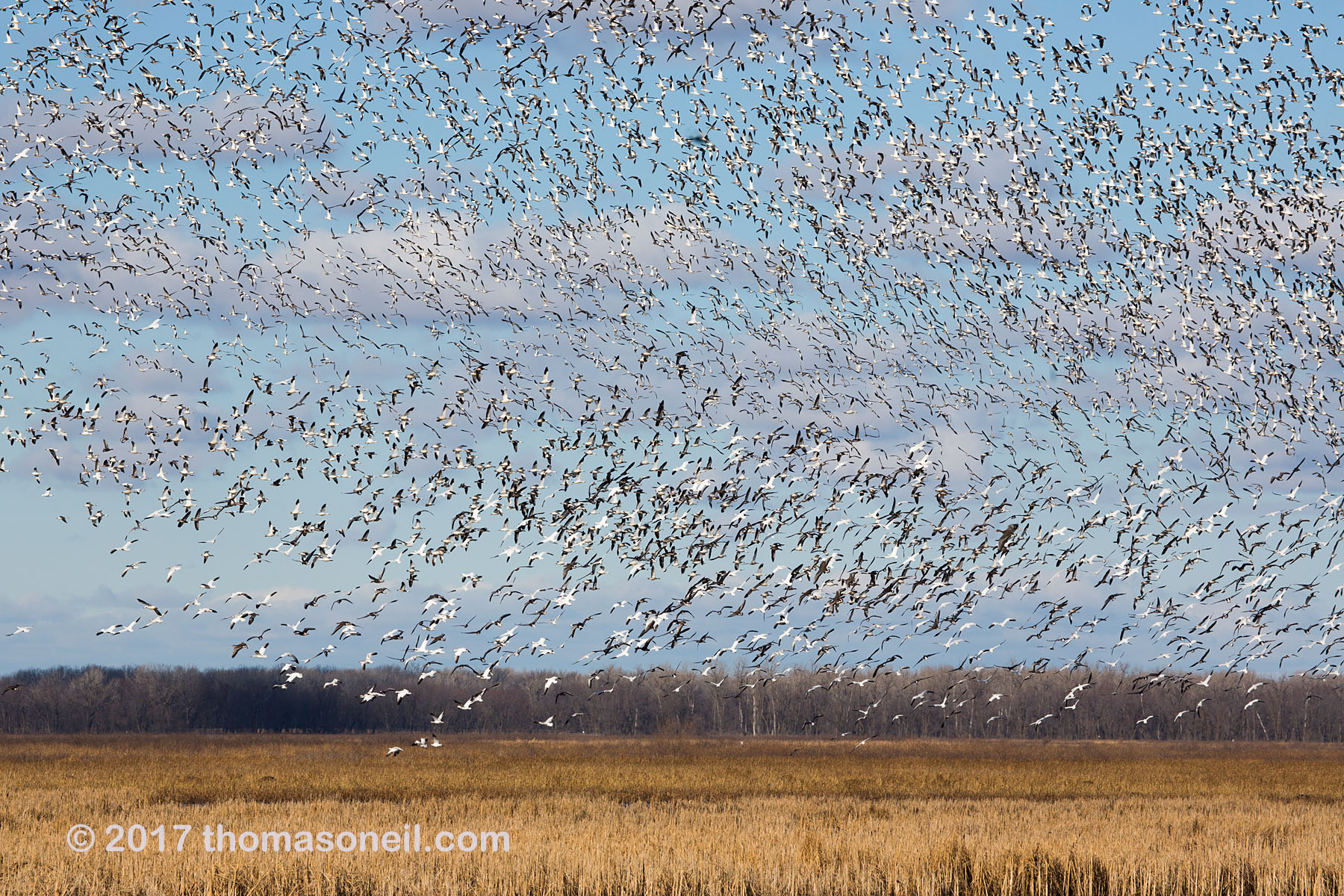 Snow geese, Loess Bluffs National Wildlife Refuge, Missouri, December 2017.  Click for next photo.