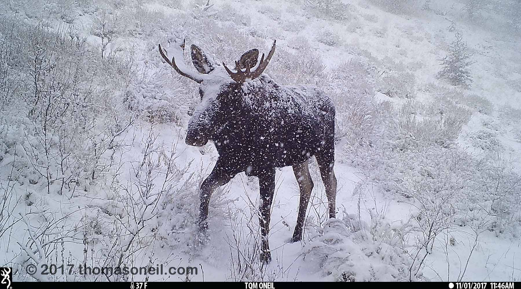 Moose near Red Lodge, MT, 2017.