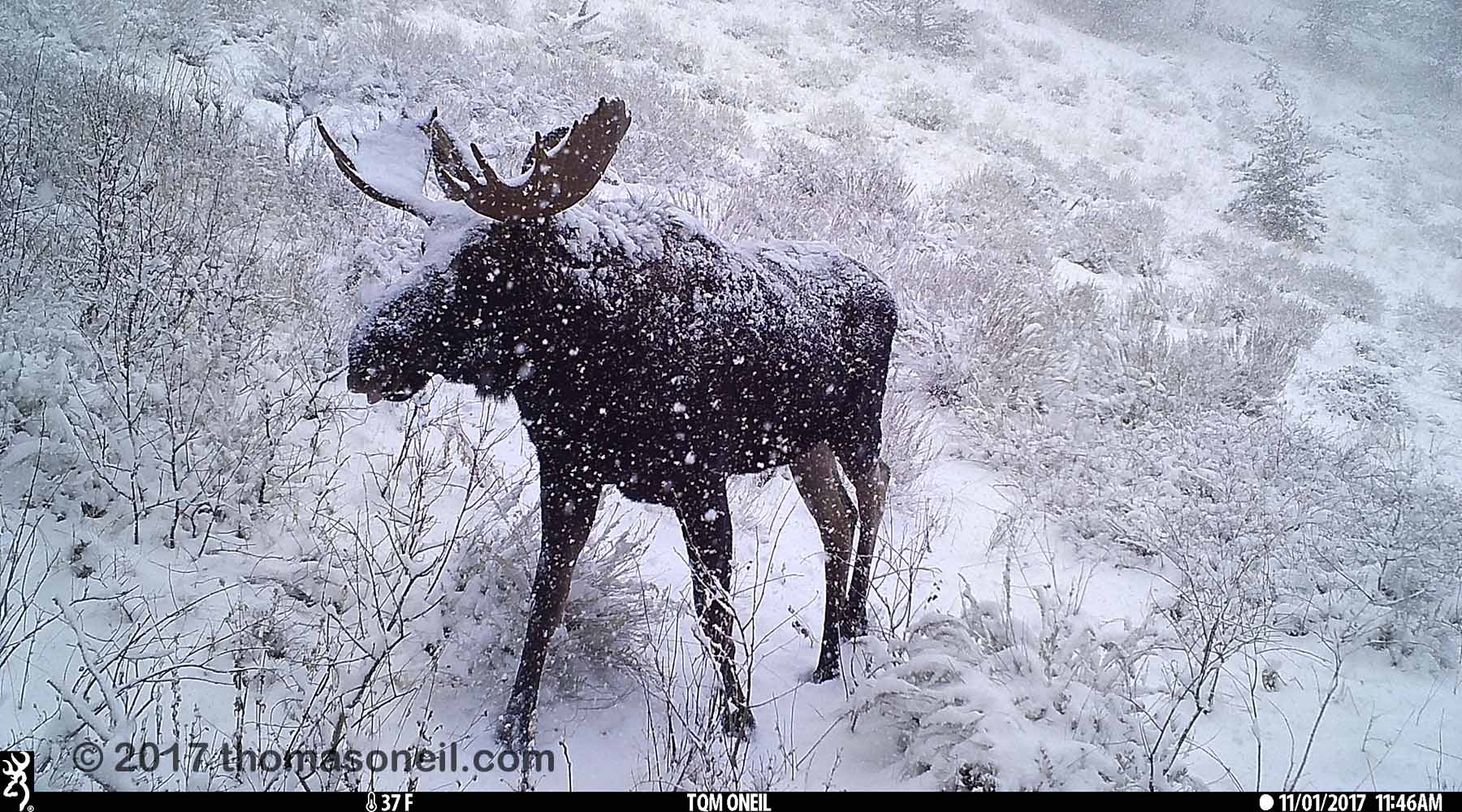 Moose near Red Lodge, MT, 2017.  Click for next photo.