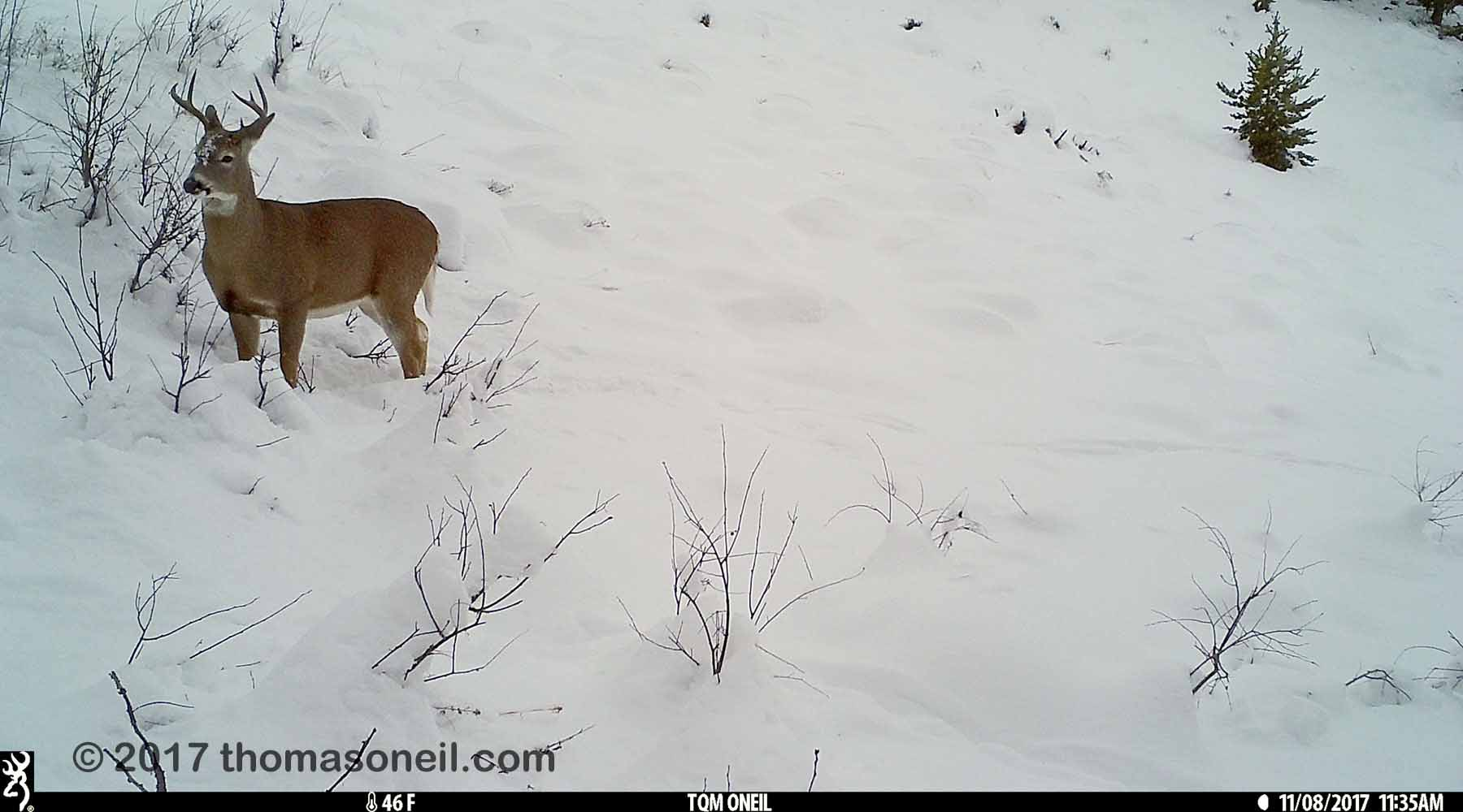 Deer in the snow near Red Lodge, MT, 2017.