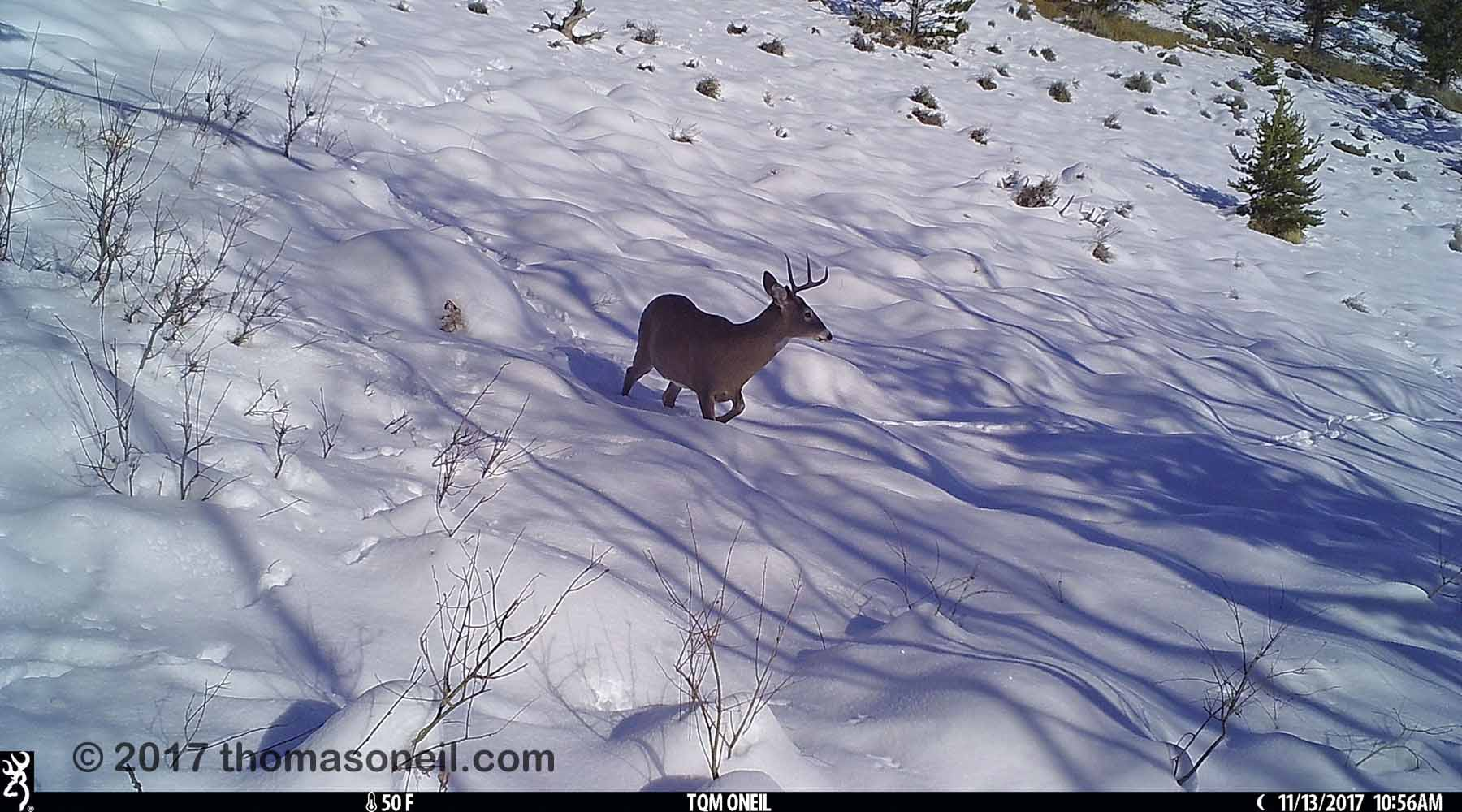 Deer with one antler  in the snow near Red Lodge, MT, 2017.