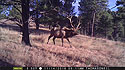 An elk on trailcam in Wind Cave National Park, SD, November 2016.