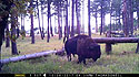 Custer State Park bison on trailcam, October 2017.  This trailcam was destroyed by fire at this location two months later.