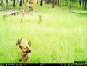 Deer, August 5, 2017.
