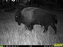 Bison, August 15, 2017.