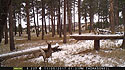 Custer State Park whitetail deer on trailcam, November 2017.