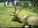 Elk, Aug. 2, 2017.