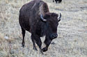 Bison in the Black Hills, South Dakota, November 2017.