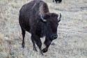 Bison in the Black Hills, South Dakota, November 2017.