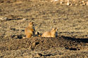 Prairie dogs in the Black Hills, South Dakota, November 2017.