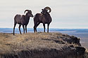 Bighorns in the Badlands, South Dakota, November 2017.