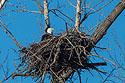 Bald eagle in nest, Loess Bluffs National Wildlife Refuge, Missouri, December 2017.