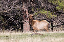 Elk in Custer State Park, April 2017.  This was on a part of the Wildlife Loop near the airport where I had never seen an elk before.