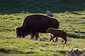 Bison baby in Custer State Park, April 2017.