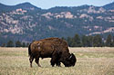 Bison in Wind Cave National Park, April 2017.