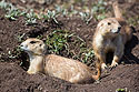Prairie dogs in Wind Cave National Park, April 2017.